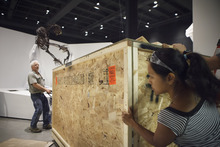 In a photo made May 15, 2012, paleontologists from the Black Hills Institute of Geologic Research with the help of film industry prop artists carefully move a box of T-Rex fossil bones in the new Hall of Paleontology at the Houston Museum of Natural Science Tuesday, May 15, 2012.  The exhibit that opens June 2 includes the only Triceratops skin ever found, and a T-rex with three fingers.   (AP Photo/Michael Stravato)