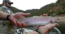 Al Hartmann  |  The Salt Lake Tribune  Spring is a great time to catch a lot of rainbow trout at Flaming Gorge Reservoir. This is a typical spring catch on the Gorge.