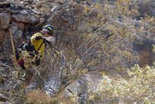 Jud Burkett | The Spectrum  A Southern Paiute firefighter pulls apart a smoldering creosote bush Wednesday to extinguish a hot spot from a wildfire that burned through the cliffs east of Hurricane.