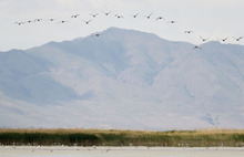 Trent Nelson  |  The Salt Lake Tribune Double-crested Cormorants fly over the Great Salt Lake in the Bear River Migratory Bird Refuge.