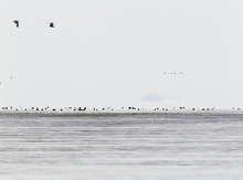 Trent Nelson  |  The Salt Lake Tribune Waterfowl on the Great Salt Lake in the Bear River Migratory Bird Refuge Wednesday.