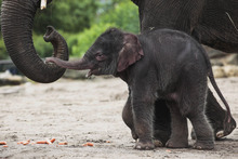 A new-born female Asian elephant calf walks beside her mother during the calf's official presentation at the zoo Tierpark (Animal Park) in Berlin, Germany, Tuesday, June 5, 2012. The still nameless elephant calf was born on May, 31, 2012. (AP Photo/Markus Schreiber)