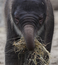 A new-born female Asian elephant calf plays with straw during the her official presentation at the zoo Tierpark (Animal Park) in Berlin, Germany, Tuesday, June 5, 2012. The still nameless elephant calf was born on May, 31, 2012. (AP Photo/Markus Schreiber)