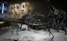 Steve Griffin  |  The Salt Lake Tribune The Natural History Museum of Utah has many engaging displays including the dinosaur area.