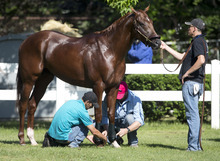 I'll Have Another is tended to after a bath at Belmont Park in Elmont, N.Y., on Thursday, June 7, 2012. I'll Have Another's bid for a Triple Crown ended with the shocking news Friday that the colt was out of the Belmont Stakes because of a swollen left front tendon.  (AP Photo/Mike Groll)