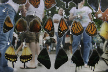 Scott Sommerdorf  |  The Salt Lake Tribune              Zell Lee's butterfly wing earrings on display at the opening Saturday of the Salt Lake Farmer's Market, Saturday, June 9, 2012.