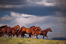 Wild mustangs from Utah's Great Basin Desert are featured in the National Geographic Channel documentary