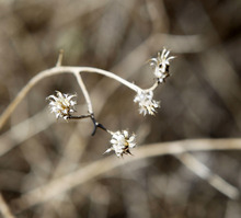 Al Hartmann  |  The Salt Lake Tribune  Seed heads of Squarrose Knapweed.  A group of landowners and members of state and federal government agencies toured an area on the Juab-Tooele county line where the knapweed has gained a foothold.