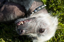 Chris Detrick  |  The Salt Lake Tribune Creature, a 10-year-old Mexican hairless mix, will be competing for the title of World's Ugliest Dog on June 22 at the Sonoma-Marin Fair in Petaluma, Calif. Creature recently won the title of Utah's Ugliest Mutt.
