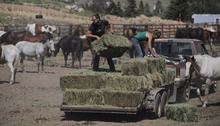 Will Ostendorf and Jenny Hartman give hay to the nearly 140 horses that were evacuated from the Springer Fire area on Monday, June 18, 2012. Ostendorf and Hartman worked with the horses at Sanborn Camps and were evacuated from their camp on Sunday. The horses are being boarded at the Teller County Fair Grounds in Cripple Creek.   (AP Photo/The Gazette, Jerilee Bennett)