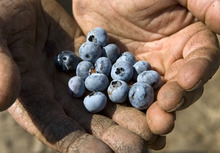 Tribune file photo Blueberries are grown on the Week's Berry farm in Cache Valley. Guests can tour the farm Mondays and Fridays now through October.