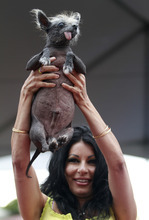 Suzanne Marta holds up her Chinese crested dog, Handsome Hector, during at the World's Ugliest Dog contest during the Sonoma-Marin Fair in Petaluma, California, on Friday, June 22, 2012.  (AP Photo/The Press Democrat, Beth Schlanker)