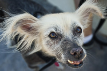Chris Detrick  |  The Salt Lake Tribune Creature, a 10-year-old Mexican hairless mix. Creature competed for the title of World's Ugliest Dog on June 22 at the Sonoma-Marin Fair in Petaluma, Calif., but lost to a Chinese crested named Mugly.