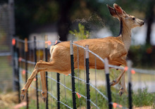 A deer jumps through a fence along U.S. Highway 24 near Manitou Springs, Colo., as a wildfire burns near Cascade, Colo., on Sunday, June 24, 2012. The fire erupted and grew out of control to more than 3 square miles early Sunday, prompting the evacuation of more than 11,000 residents and an unknown number of tourists. (AP Photo/The Colorado Springs Gazette, Christian Murdock)
