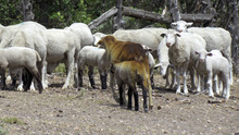 Courtesy of Darlene Mortensen Cory Anderson's sheep, some of which were burned by the Wood Hollow Fire.