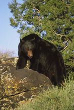 Black bear. Lynn Chamberlain | Utah Division of Wildlife Resources