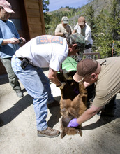 Paul Fraughton | The Salt Lake Tribune Utah wildlife officials trapped and tranquilized a 2-year-old male bear in a Summit Park neighborhood on Wednesday, May 30, 2012. The bear, because of its young age, was to be relocated by wildlife officers to a remote location.