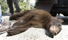 Paul Fraughton | The Salt Lake Tribune Utah wildlife officials trapped and tranquilized a young male bear in a Summit Park neighborhood on Wednesday, May 30, 2012. The 2-year-old bear, because of its young age, was to be relocated by wildlife officers to a remote location.