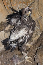 A 70-day-old golden eagle was feared lost when the Dump Fire burnt its nest to a crisp. When a volunteer headed to the burned landscape to check on the young eagle he feared it was toast, but after some searching he found the raptor hiding under a juniper tree. Courtesy Kent Keller