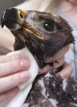 Leah Hogsten  |  The Salt Lake Tribune Golden eagle's burns are cleaned and salved Friday, July 6, 2012 in Ogden. The 70-day-old eagle was feared lost when the Dump Fire burned its nest to a crisp. A volunteer found the young eagle hiding under a juniper tree. Evidence at the scene proves the parents tried to feed the chick, but a burned face and feet prevented it from being able to eat. The raptor was taken to the Wildlife Rehabilitation Center of Northern Utah and nicknamed Phoenix.