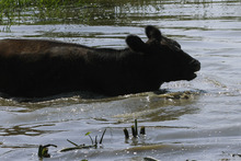 Central Illinois cattle keep cool by wading into a farm pond during a record breaking heat wave with dry weather conditions that is across most of the country Friday, July 6, 2012 in Farmingdale, Ill. There's been no relief day or night from a scorching heat wave in the central U.S., and the deadly temperatures were heading east Friday after Midwest cities like Chicago, St. Louis and Milwaukee set record highs. (AP Photo/Seth Perlman)