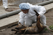 In this photo taken on Monday, April 9, 2012,  a dog is tranquilized before taken to be euthanized by lethal injection at a government-run shelter in Taoyuan, northern Taiwan. In an ongoing project, Taiwanese photographer Tou Chih-kang makes portraits of shelter dogs in the final moments of their lives before being put down by lethal injection. Tou has been visiting dog shelters for two years now, making human-like portraits that give a sense of dignity and esteem to some 400 canines, in hopes of educating the public on the proper care of pets. This year Taiwanese authorities will kill an estimated 80,000 stray dogs at 38 pounds scattered throughout the island. (AP Photo/Wally Santana)