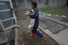 In this photo taken on Monday, April 9, 2012, a dog is taken to be euthanized by lethal injection at a government-run shelter in Taoyuan, northern Taiwan. In an ongoing project, Taiwanese photographer Tou Chih-kang makes portraits of shelter dogs in the final moments of their lives before being put down by lethal injection. Tou has been visiting dog shelters for two years now, making human-like portraits that give a sense of dignity and esteem to some 400 canines, in hopes of educating the public on the proper care of pets. This year Taiwanese authorities will kill an estimated 80,000 stray dogs at 38 pounds scattered throughout the island. (AP Photo/Wally Santana)
