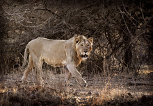 In this March 25, 2012 photo, a lion walks through the Gir Sanctuary in the western Indian state of Gujarat, India. Nurtured back to about 400 from less than 50 a century ago, these wild Asiatic lions are the last of a species that once roamed from Morocco and Greece to the eastern reaches of India. The subject of saving lions is an emotional one in India. The lion also holds iconic status in religions and cultures. The multi-armed Hindu warrior goddess Durga is traditionally shown with a lion as her mount. Four lions make the national emblem - symbolizing power, courage, pride and confidence. (AP Photo/Rajanish Kakade)