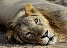 In this March 24, 2012 photo, a lion rests at the Gir Sanctuary in the western Indian state of Gujarat, India. Nurtured back to about 400 from less than 50 a century ago, these wild Asiatic lions are the last of a species that once roamed from Morocco and Greece to the eastern reaches of India. But the lions' precarious return is in jeopardy. Experts warn that crowded together in the park, they are more vulnerable to disease and natural disaster. There is little new territory for young males to claim, increasing chances for inbreeding, territorial conflict or males killing the young. (AP Photo/Rajanish Kakade)