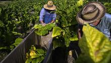 Levon Hucks, left, and J.P. Cribb prime tobacco at the L.W. Paul Living History Farm, Saturday, July 7, 2012, in Conway, S.C. (AP Photo/The Sun News, Janet Blackmon Morgan)