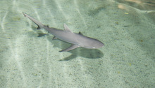 Paul Fraughton | The Salt Lake Tribune  A gray reef shark gets used to its new home at the Living Planet Aquarium in Sandy. Aquarists were busy Wednesday uncrating more than 20 new fish to add to their collection including guitarfish, unicornfish and rays.