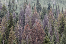 Al Hartmann  |  The Salt Lake Tribune	 Mosaic of Englemann spruce forest shows various stages of dying from bark beetles in the Soapstone Basin area of the Uinta Mountains.