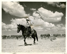 Tribune file photo  This 1939 photo shows a cowboy roping a calf.