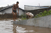 A man stands in the ground near a flooded area with stranded hogs in Anju City, South Phyongan Province, North Korea Monday, July 30, 2012. More heavy rain has pounded North Korea, flooding buildings and farmland and forcing stranded people and their livestock to take shelters atop rooftops. (AP Photo/Kim Kwang Hyon)