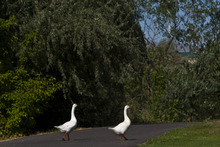 Chris Detrick  |  The Salt Lake Tribune Two geese walk across the Jordan River Parkway Trail Wednesday near Oxbow Park. Salt Lake County and National Park Service have produced and released a detailed map that is now available to the public.