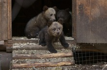 ADVANCE FOR USE SUNDAY, AUG. 5, 2012 AND THEREAFTER - In this Friday, April 20, 2012 photo, brown bear cubs take their first steps down the porch of their
