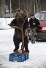 ADVANCE FOR USE SUNDAY, AUG. 5, 2012 AND THEREAFTER - In this Thursday, April 5, 2012 photo, a man displays a stuffed brown bear for sale near the small town of Toropets, Russia, about 300 kilometers (188 miles) northwest of Moscow. Bear hunting is common in Russia and the cubs are often left to fend for themselves after a parent is killed. (AP Photo/Alexander Zemlianichenko)