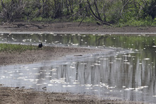 In this July 26, 2012 photo, dead fish float in a drying pond near Rock Port, Mo., as a turkey vulture paces the shore. Multitudes of fish are dying in the Midwest as the sizzling summer dries up rivers and raises water temperatures in some spots to nearly 100 degrees. (AP Photo/Nati Harnik)