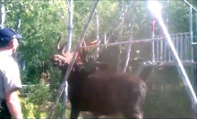 Captured from YouTube A Weber County sheriff's sergeant on Tuesday was filmed freeing a moose that was tangled in a swing set at a home in Causey Estates.