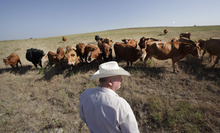 LM Otero  |  The Associated Press Cattle rancher Ron Gill looks over his herd as he checks his livestock's grazing pasture in rural Wise County near Boyd, Texas, in early August. Gill has been cross breeding cattle with more drought tolerant breeds that can withstand heat and droughts better. Cattle are being bred with genes from their African cousins who are accustomed to hot weather. New corn varieties are emerging with larger roots for gathering water in a drought. Someday, the plants may even be able to
