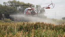 Al Hartmann  |  The Salt Lake Tribune   Helicopter aerial sprays a 1,500 acre infestation of Phragmites on the north end of Utah Lake near the Lindon Boat Harbor Thursday morning, as part of an ongoing $1 million state weed eradication program. The common reed is considered an invasive species. The tall wispy plant grows so dense, it crowds out fish habitat, lowers water quality, blocks public access to lakes and streams and has invaded farmland in Saratoga Springs, Lehi and other cities and lowered crop production. It is also prone to drying out and burning, raising the likelihood of wildfires.