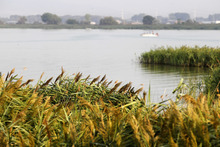 Al Hartmann  |  The Salt Lake Tribune   State officials aerial sprayed this 1,500 acre infestation of Phragmites on the north end of Utah Lake near the Lindon Boat Harbor Thursday morning, as part of an ongoing $1 million state weed eradication program. The common reed is considered an invasive species. The tall wispy plant grows so dense, it crowds out fish habitat, lowers water quality, blocks public access to lakes and streams and has invaded farmland in Saratoga Springs, Lehi and other cities and lowered crop production. It is also prone to drying out and burning, raising the likelihood of wildfires. This spraying was be conducted by helicopter.