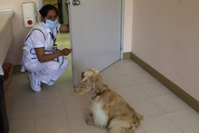In this July 25, 2012 photo, a nurse speaks to Lancelot, an American cocker spaniel, during his weekly visit to patients at the SOLCA hospital in Quito, Ecuador. The dog's owner says she brings Lancelot every Wednesday to cheer up the most discouraged of the patients. Hospital workers began to notice that on Wednesdays fewer children had to be kept over because of problems after chemotherapy. Doctors found that youngsters' adrenaline levels rose from being with the dogs, boosting their resistance to chemo's side effects. (AP Photo/Dolores Ochoa)
