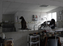 In this July 19, 2012 photo, an Irish setter named Maximu waits for his owner after being washed in Quito, Ecuador. The dog's owner says her dogs are used every Wednesday to cheer up the most discouraged of the patients at the hospital. Hospital workers began to notice that on Wednesdays fewer children had to be kept over because of problems after chemotherapy. Doctors found that youngsters' adrenaline levels rose from being with the dogs, boosting their resistance to chemo's side effects. (AP Photo/Dolores Ochoa)