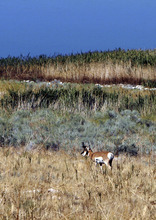Francisco Kjolseth  |  Tribune file photo A a large pronghorn eats along the shores of Antelope Island. Controversy is churning over deer and big horn sheep hunting on the island.