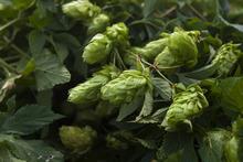 Chris Detrick  |  The Salt Lake Tribune Wild hops growing in Summit County on Aug. 14, 2012.