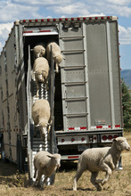 Chris Detrick     The Salt Lake Tribune Around 300 wild sheep from the Cache National Forest are unloaded at Soldier Hollow Olympic Venue before the start of the Soldier Hollow Classic Wednesday August 29, 2012. The Soldier Hollow Classic will run Friday-Monday.