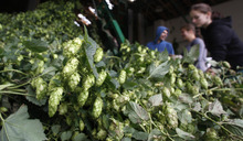 In this picture taken Aug. 30, 2012 , workers sort hops to be processed, during a harvest, near a village of Rocov, Czech Republic.  Beer drinkers will have plenty to worry about this year after Czech authorities warned that bad weather has led to the country's hop harvest plummeting by around a quarter. As well as being home to more beer drinkers per capita than anywhere else in the world, Czechoslovakia is also one of the top producers of hops — the dried seed cones that give beer its bitter taste and aroma. Their hops are highly sought after and exported to about 80 countries. (AP Photo/Petr David Josek)
