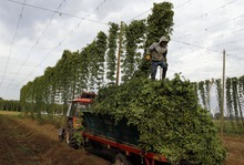 David Josek     The Associated Press A  worker steps on hops,  during a harvest, near a village of Rocov, Czech Republic.  Beer drinkers will have plenty to worry about this year after Czech authorities warned that bad weather has led to the country's hop harvest plummeting by around a quarter. As well as being home to more beer drinkers per capita than anywhere else in the world, Czechoslovakia is also one of the top producers of hops — the dried seed cones that give beer its bitter taste and aroma. Their hops are highly sought after and exported to about 80 countries.