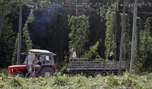 In this picture taken Aug. 30, 2012 a  worker harvest hops, during a harvest, near a village of Rocov, Czech Republic.  Beer drinkers will have plenty to worry about this year after Czech authorities warned that bad weather has led to the country's hop harvest plummeting by around a quarter. As well as being home to more beer drinkers per capita than anywhere else in the world, Czechoslovakia is also one of the top producers of hops — the dried seed cones that give beer its bitter taste and aroma. Their hops are highly sought after and exported to about 80 countries. (AP Photo/Petr David Josek)